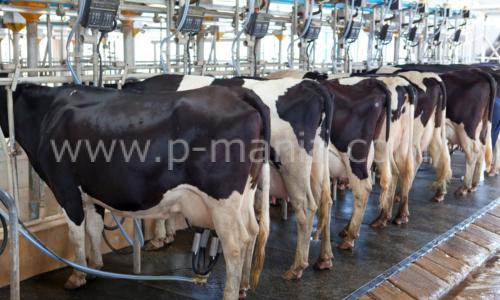 乳牛とホルモン剤